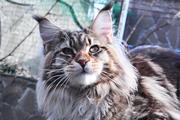 Мэйн-кун,  котята самой крупной домашней кошки