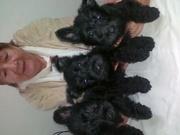 собаки и щенки скотч-терьера продажа