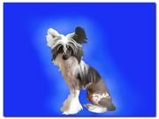 Продаются щенки Китайской хохлатой питомник NIKA STARS
