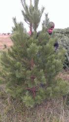 Живые елки к новому году оптом без посредников