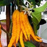 широкий выбор плодовых, от цитрусов до сортов земленики.